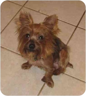 Yorkie, Yorkshire Terrier Dog for adoption in Conroe, Texas - Lacy