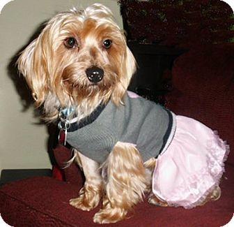 Yorkie, Yorkshire Terrier/Maltese Mix Dog for adoption in Mooy, Alabama - Kayla