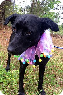 Labrador Retriever Mix Dog for adoption in Richmond, Virginia - Mya