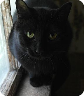 Domestic Shorthair Cat for adoption in Monroe, Connecticut - Rosey