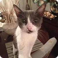 Adopt A Pet :: Mischief - Wauconda, IL