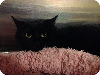 Domestic Shorthair Cat for adoption in Muncie, Indiana - Ellen