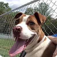 Adopt A Pet :: Dot - Lebanon, CT