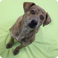 Adopt A Pet :: Lola - CHICAGO, IL