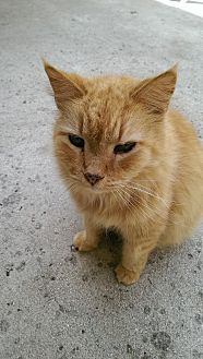 Domestic Longhair Cat for adoption in Bonita Springs, Florida - Simba