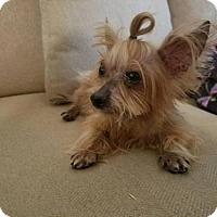 Silky Terrier Dog for adoption in Houston, Texas - Tater Tot