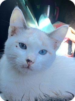 Siamese Kitten for adoption in McKinney, Texas - Bergen