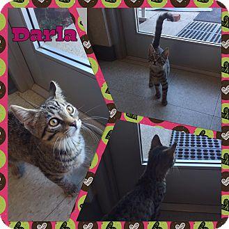 Domestic Shorthair Kitten for adoption in Bryan, Ohio - Darla