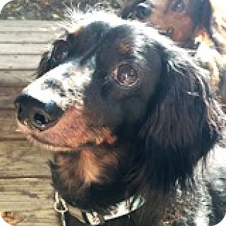 Dachshund Dog for adoption in Houston, Texas - Beaux Bonus