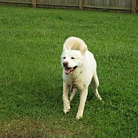 Husky Mix Dog for adoption in Watha, North Carolina - Mr. Goodbar