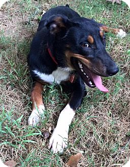Shepherd (Unknown Type) Mix Dog for adoption in Greeneville, Tennessee - Honey