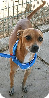 Whippet Mix Dog for adoption in Pilot Point, Texas - LUCAS