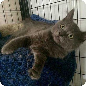 Domestic Mediumhair Kitten for adoption in Barrington, Illinois - Cupcake
