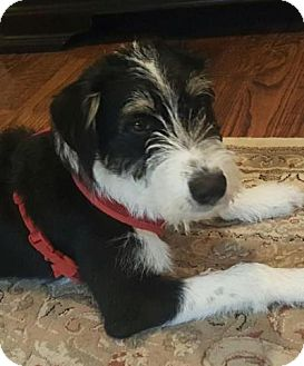 Miniature Schnauzer/Terrier (Unknown Type, Medium) Mix Dog for adoption in North Richland Hills, Texas - Mac