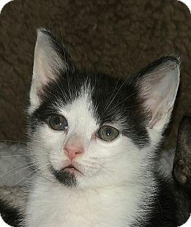 Domestic Shorthair Kitten for adoption in Amherst, Massachusetts - Timmy