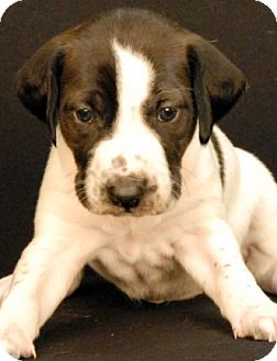 Hound (Unknown Type) Mix Puppy for adoption in Newland, North Carolina - Maddon