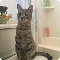 Domestic Shorthair Cat for adoption in Phoenix, Arizona - Carter