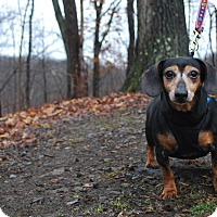 Adopt A Pet :: Sweetie Pie - New Castle, PA