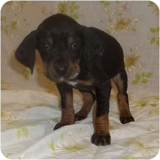 Black and Tan Coonhound Mix Puppy for adoption in Bel Air, Maryland - Lady