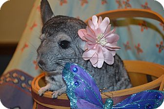 Chinchilla for adoption in Patchogue, New York - Apache