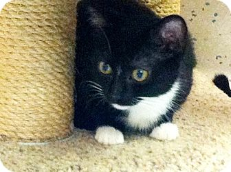 Domestic Shorthair Kitten for adoption in Red Bluff, California - Winter