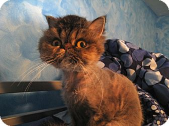 Persian Cat for adoption in Beverly Hills, California - Lulu