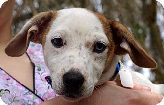 Jack Russell Terrier Mix Dog for adoption in Gainesville, Florida - Diddy