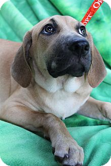 Bloodhound/Labrador Retriever Mix Puppy for adoption in Hagerstown, Maryland - Mazie