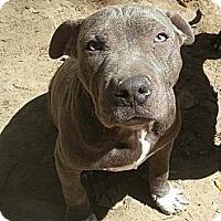 Adopt A Pet :: Clyde - New orleans, LA