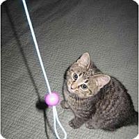 Adopt A Pet :: Chessie - Jenkintown, PA