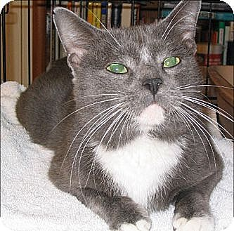 Domestic Shorthair Cat for adoption in San Antonio, Texas - Tom Tom