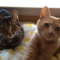 Domestic Shorthair Cat for adoption in South Plainfield, New Jersey - Mikey and Missy - URGENT!