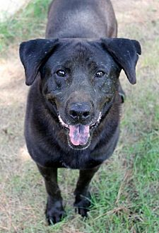 Labrador Retriever Dog for adoption in Memphis, Tennessee - Baylee