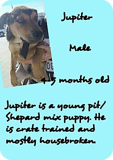 American Pit Bull Terrier/Shepherd (Unknown Type) Mix Puppy for adoption in Stephenville, Texas - Jupiter