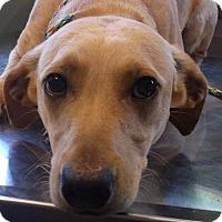 Adopt A Pet :: Gambit - Boston, MA