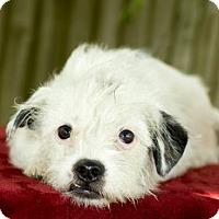 Adopt A Pet :: Jackie- darling wirey girl---N  Video - Alvin, TX