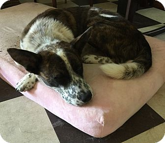 Cattle Dog Mix Dog for adoption in House Springs, Missouri - Fluffy