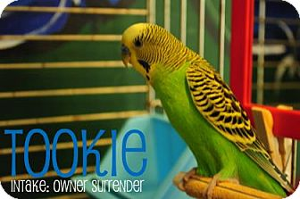 Budgie for adoption in Hamilton, Ontario - Tookie
