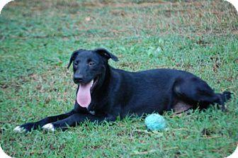 Labrador Retriever Mix Puppy for adoption in Yardley, Pennsylvania - Butterfinger
