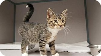 Domestic Shorthair Kitten for adoption in Knoxville, Iowa - Laci
