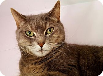 Domestic Shorthair Cat for adoption in Salisbury, Massachusetts - Jezibel