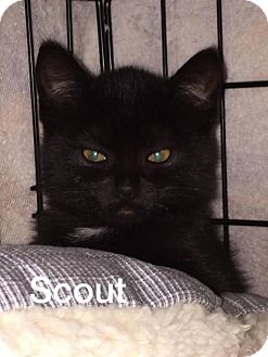 Domestic Shorthair Kitten for adoption in Whitewater, Wisconsin - Scout