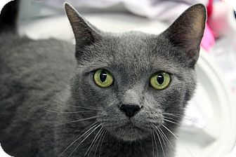 Domestic Shorthair Cat for adoption in Indianapolis, Indiana - Persephone