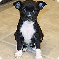 Adopt A Pet :: Zista - New City, NY