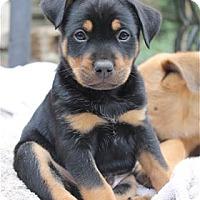 Adopt A Pet :: BRUTUS - Pleasanton, CA