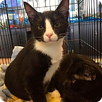 Domestic Shorthair Cat for adoption in Staten Island, New York - Harley