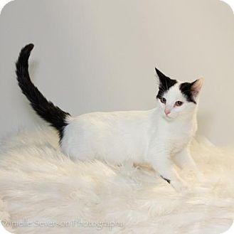 Domestic Shorthair Kitten for adoption in St. Louis Park, Minnesota - Rory
