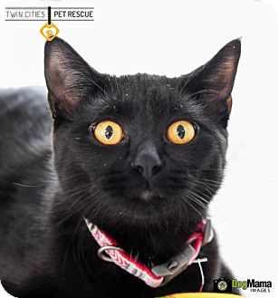 Domestic Shorthair Cat for adoption in St Paul, Minnesota - Nell