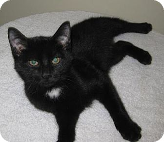 Domestic Shorthair Kitten for adoption in Gary, Indiana - Tip