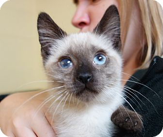 Siamese Cat for adoption in Greenfield, Indiana - Ivan